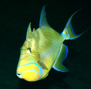 Mar 2014 Ask Aquar. col-NC Aquariums-triggerfish